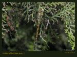 Aeshna affinis Gyakori acsa