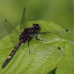 leucorrhinia-pectoralis_him_kicsi
